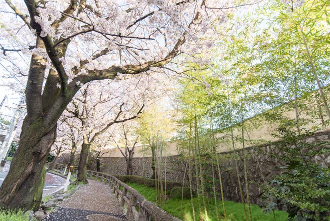 どこか懐かしさを感じる「六郷用水歩道」のサクラ。