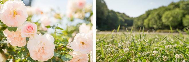 都筑中央公園はバラの花壇が満開。里山の新緑も美しく眺められます。