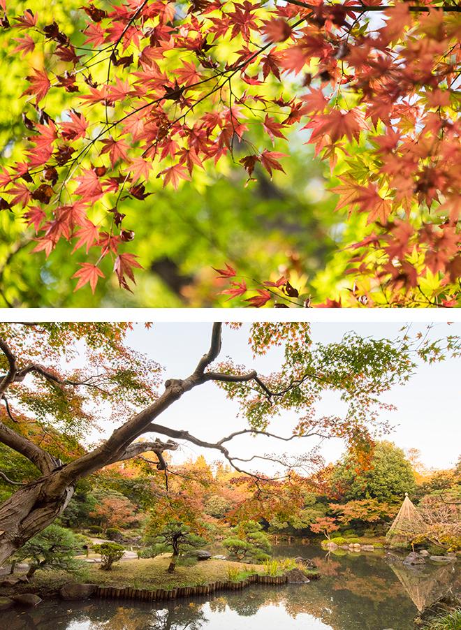 モミジの紅葉が鮮やかな旧古河庭園。日本庭園は造園界の巨匠、京都の庭師植治こと小川治兵衛が手がけました。