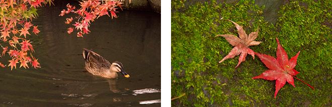 日本庭園の心字池でもモミジが映えます。