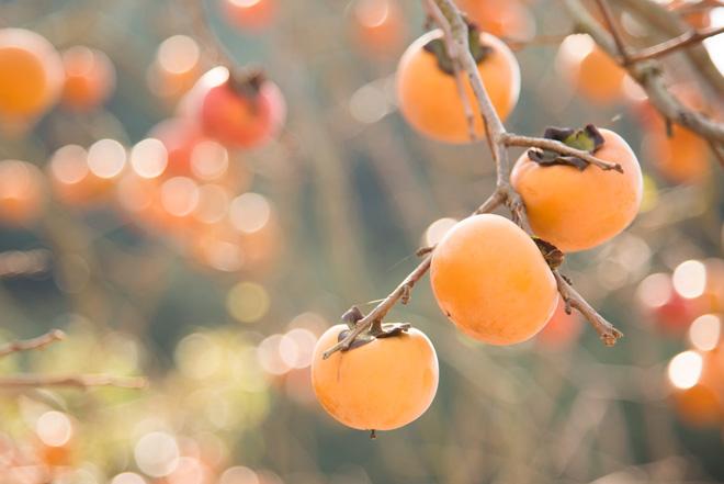 柿が黄金色に輝きながら実っていました。