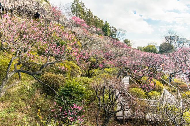丘陵一面にさまざまな梅が咲く池上梅園。