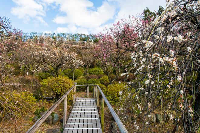 展望台へ続く道では多様な梅を間近に観賞できます。右は「緑萼枝垂(りょくがくしだれ)」。