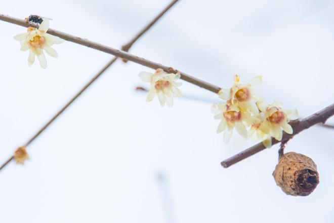 黄色い花の「蠟梅(ろうばい)」。