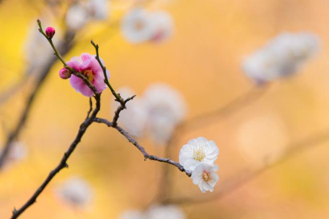 一本の木に紅・白の花が咲く「思いのまま」。