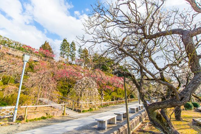 370本の梅が咲く景色は圧巻。