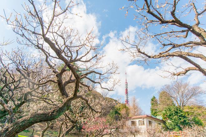 芝公園内の梅園からは東京タワーがのぞきます。