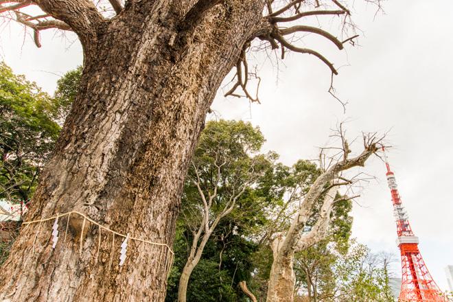 寛永18年に徳川家光公が植えたとされるイチョウ。
