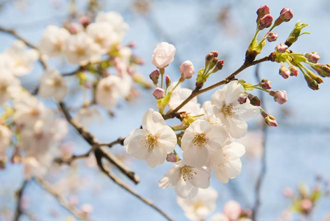 桜の季節は期間限定で、お花見クルーズが運行されます。