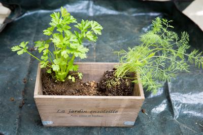 ▲ 背の高い苗を奥に配置するのがレイアウトの基本。今回は左奥にイタリアンパセリ、右奥にディルをセット。
