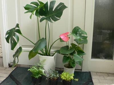 室内の明るい場所に適する観葉植物。 左奥から時計周りに、モンステラ、アンスリウム、 ピレア2種(ピレアは次に紹介するアレンジメントで使用)、プテリス。 日陰であれば屋外にも置けるが、直射日光は苦手なので注意が必要。 秋から春にかけては、室内へ。