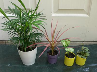 耐陰性のある植物。室内の奥で、日が当たらない場所でも置ける。 逆に明るい窓辺では、葉焼けをおこすことがあるので注意を。 左からテーブルヤシ、ドラセナ、シンゴニウム、ペペロミア (ドラセナ以外は次のアレンジメントで使用)。