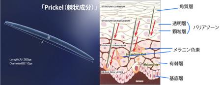 ▲ Prickle(トゲ状成分)が肌に作用するイメージ図