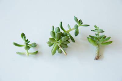 挿し穂の生長の様子。左が剪定したばかりの状態で、ここからだんだんと根が発生し(中)、 一番右の状態くらいまで根がでてきたら、挿し穂として活用可能に。