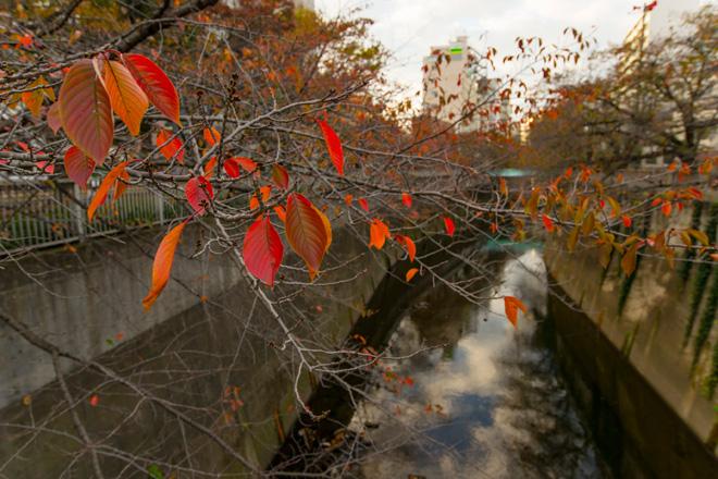 紅葉で赤く染まった神田川。歌の「神田川」でも有名です。