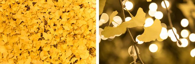 銀杏の落ち葉がフカフカに敷き詰められた散歩道。暖かい黄色がより一層、光を拡散していました。